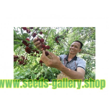 Sementes De Yangmei Bayberry Chinês