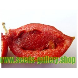Natal Sljiva Seme (Carissa macrocarpa)
