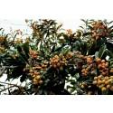 Plattpfirsich Samen Paraguayo - Platerina (Prunus persica var. platycarpa)