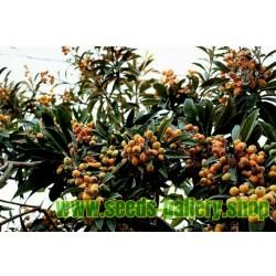Japanska Musmula Seme (Eriobotrya japonica)