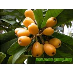 Graines Néflier du Japon ou Bibacier (Eriobotrya japonica)