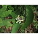 Semillas de Annona glabra