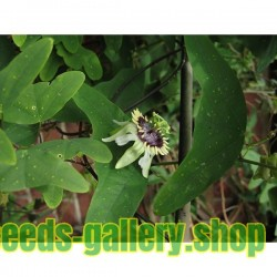 Sementes De Passiflora colinvauxii