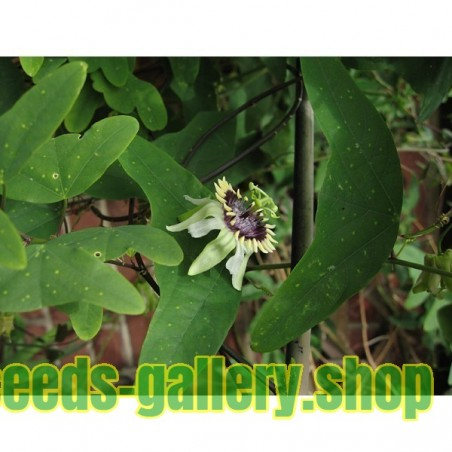 Passiflora colinvauxii Seeds