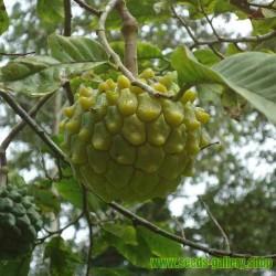 Sementes de Ultra raro Fruta Pinha ANNONA EDULIS