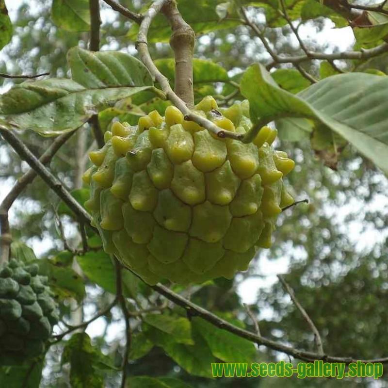 Très rare Graines de Attier ou Pommier cannelle ANNONA EDULIS