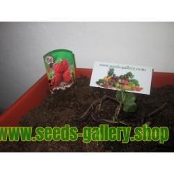 "Erdbeere Samen ""Framberry"" mit Himbeer-aroma"