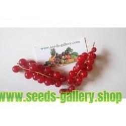 Σπόροι Φραγκοσταφυλο (Ribes rubrum)