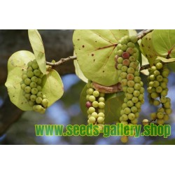 Havsdruva Frön (Coccoloba uvifera)