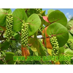 Seagrape Baygrape Seeds (Coccoloba uvifera)