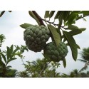 Graines de Mandarinier (Citrus reticulata)