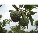Mandarine Samen Winterharte Sorte (Citrus reticulata)