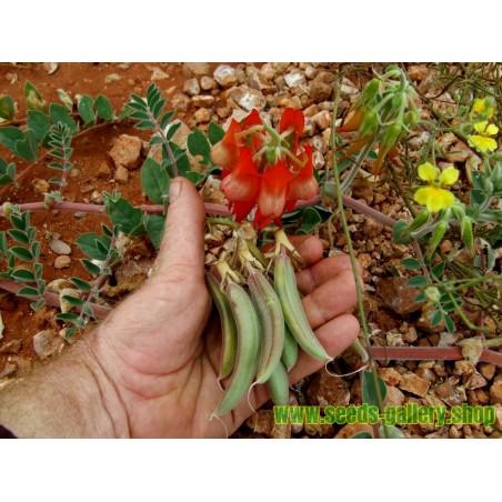 Swainsona formosa Seme - Pustinjski Grasak