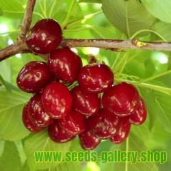 Semillas De Cerezo Dulce (Prunus Avium)