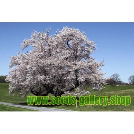 Sötkörsbär Frön (Prunus Avium)