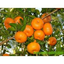 Σπόροι Μανταρίνι (Citrus reticulata)