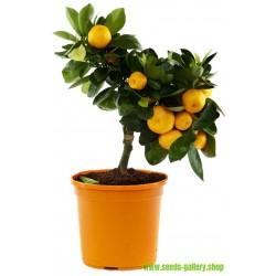 Småcitrus Mandarin Frön (Citrus reticulata)