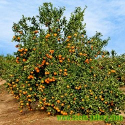 Semillas de Mandarino (Citrus reticulata)