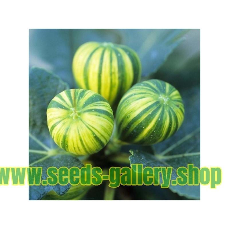 Kiseli trn - Zutikan Seme Lekovita Biljka