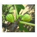 Semillas de Sunberry