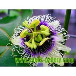 Yellow Passion Fruit Seeds (Passiflora Flavicarpa)
