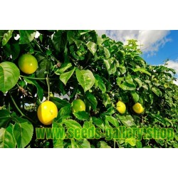 Sementes de Maracujá-Amarelo