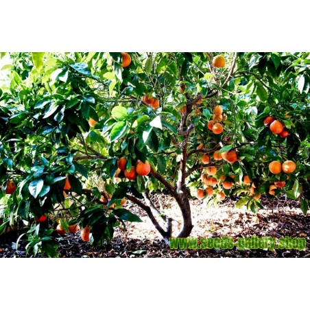 "Blutorange Samen ""Moro Blood Orange"""