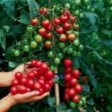Sementes de Mostarda-Preta (Brassica nigra)