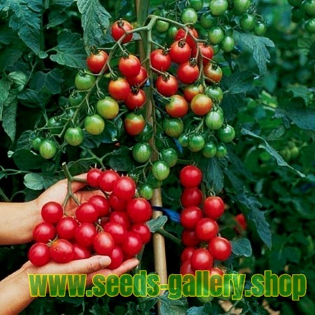 Climbing Green Bean 'Fasold' Seeds