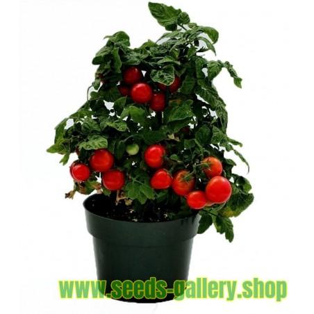 Svartsenap frön (Brassica nigra)