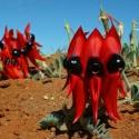Semillas de Guisante Del Desierto De Sturt