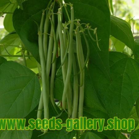 Stangenbohne Samen Fasold - ertragreich - grüne Schoten