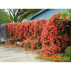 Orangerote Amerikanische Klettertrompete Samen, Trompetenblume