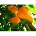 Semi Peperoncino Big Sun - Yellow Sun Habanero