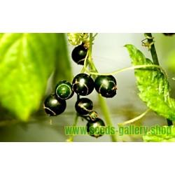 Σπόροι Jiaogulan βότανο της αθανασίας