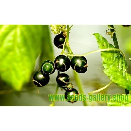 Semillas de Jiaogulan - La Hierba de la Inmortalidad