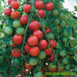 Σπόροι ντομάτας Marglobe