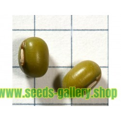 Graines de Haricot Mungo ou Ambérique Verte