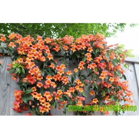 Trumpet vine or Trumpet creeper Seeds