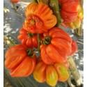 Sementes de pimenta SOMBORKA