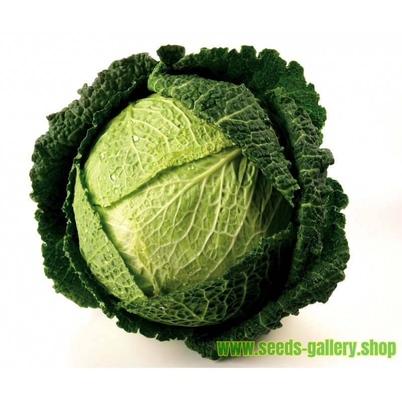 "Savoy Cabbage Seeds ""Iron Head"""
