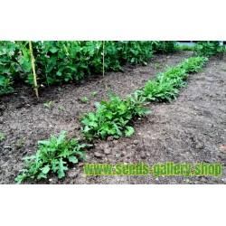 Seeds salad rocket, roquette, rucola, rugula