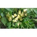Sementes Flor de sorb branca - Bonsai