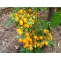 Tomato ILDI Yellow seeds