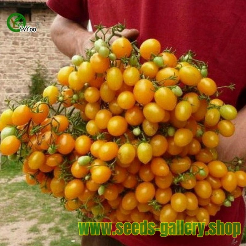 Tomato ILDI Yellow seeds