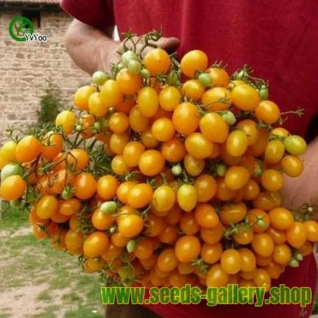 Tomaten Samen ILDI