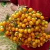 Tomatfrön ILDI