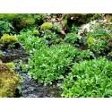 DJUNGELGURKA Frön (Melothria scabra)