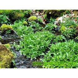 Semi di Crescione d'acqua - pianta medicinale
