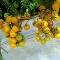 Sementes Manjericão MIX 4 diferentes variedades